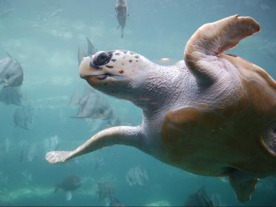 Havskildpadde ved Zakynthos - 1056