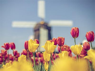 Vindmøller og tulipaner, det er Holland - 381